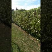 High Quality  hedge trimming + shaping done by leaf2leaf landscapes in leopardstown Co.Dublin